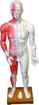 Free Shipping / Real Sized Acupuncture Human Body Model 178cm (5' 13 tall)